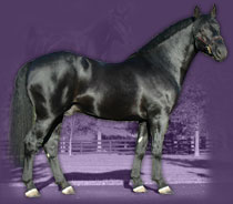 Registered Irish Draught Stallion - Bridon Belfrey
