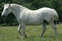 Rose Ffion - Select Hornby Premium Irish Draught Mare