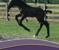 Irish Draught Colt - BenMar Night Hawk
